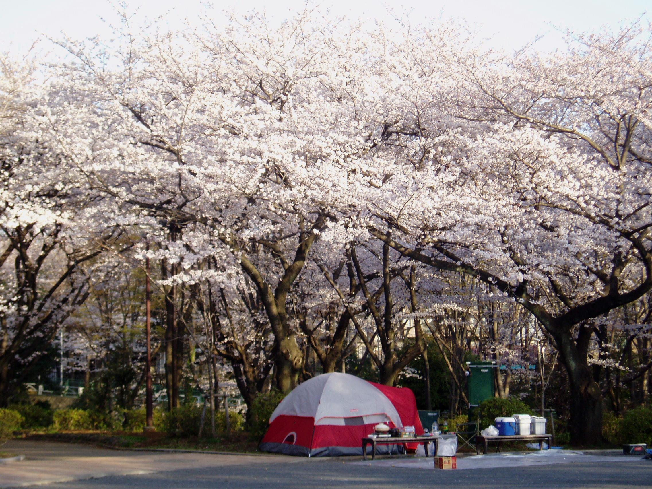 三ッ沢の桜の花見にテントまで出現 お花見桜フォト: お花見日和☆桜色ブログ スマートフォン専用ペ